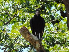 Urubu-de-cabeça-preta - Registro feito em Dezembro/13, em São José do Rio Pardo - SP.