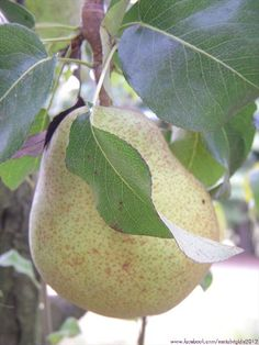 Pere - Pears