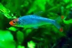 The Aquatic Plant Society – Sawbwa resplendens (Asian Rummynose)