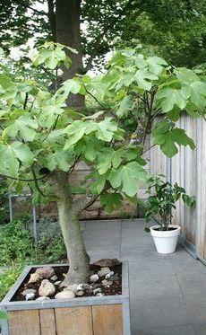 Vijgenboom in kuip