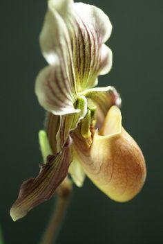 Paphiopedilum Terry Busco | orchidgalore | Flickr