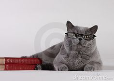 British Shorthair cat with books