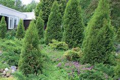 Ainavihannat havukasvit jämäköittävät istutusten muotoja ja luovat puutarhaan ympärivuotisen eloisan ilmeen. Ne myös tarjoavat suojaa ja kumppanuuskasveilleen hyvät olosuhteet.