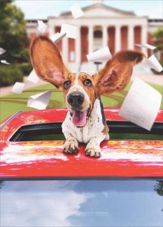 Are you interested in a Beagle? Well, the Beagle is one of the few popular dogs that will adapt much faster to any home. Most Popular Dog Breeds, Best Dog Breeds, Best Dogs, Art Beagle, Beagle Puppy, Fitness Workouts, Pocket Beagle, Pet Trainer, Bassett Hound