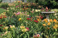 Floota's daylilies