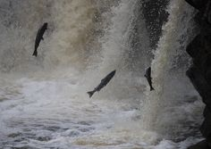Leaping Salmon - Leaping Salmon in Scotland.