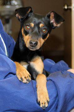 Abigail is an adoptable miniature pinscher searching for a forever family near Southbury, CT. Use Petfinder to find adoptable pets in your area.
