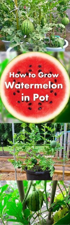 Learn how to grow watermelon in pots. Growing watermelon in containers allow this big, sweet and juicy fruit to grow in smallest of spaces. Interesting gardening ideas, I would love to grow my own watermelon this summer! Learn how to grow watermelon Indoor Vegetable Gardening, Hydroponic Gardening, Hydroponics, Organic Gardening, Container Gardening, Gardening Tips, Aquaponics System, Planting Vegetables, Hydroponic Growing