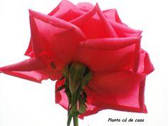 Uma rosa é uma rosa.