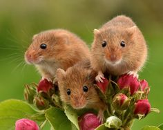 See no evil, hear no evil, speak no evil, so sweet! Nature Animals, Animals And Pets, Baby Animals, Cute Creatures, Beautiful Creatures, Animal Pictures, Cute Pictures, Harvest Mouse, Cute Baby Bunnies