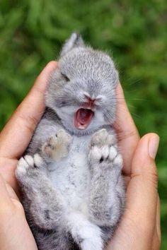 Yawning baby bunny.