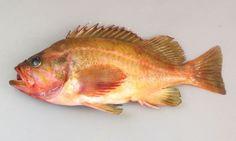 ヤナギノマイの形態写真    http://www.zukan-bouz.com/syu/ヤナギノマイ