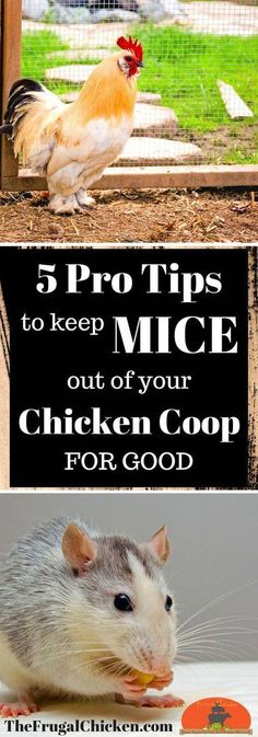 Mice in your chicken coop can cause all kinds of health and sanitary issues - not to mention freeloading off your flock's feed! Here's 5 pro tips you can use TODAY to keep the mice at bay! #buildingachickencoop