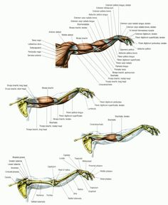 Anatomy of the Arm [Pictograph] #humananatomy #humanphysiology