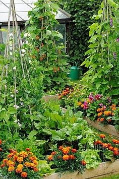 Idea: Do a few teepee style things to create garden interest. Marigolds mixed with veggies to repel bugs....