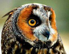 Long Eared Owl Pinned by www.myowlbarn.com