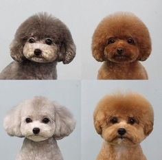 The Proud Poodle Puppies Temperament Dog Grooming Styles, Dog Grooming Tips, Poodle Grooming, Dog Grooming Business, Grooming Shop, Maltipoo Dog, Dog Haircuts, Dog Show, Pet Shop