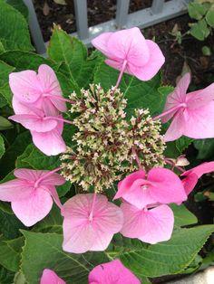 Pink Lacecaps hydrangea