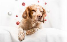 Télécharger fonds d'écran anglais pointeur, blanc, brun, chien, animaux de compagnie, Pointeur, race de chien