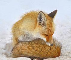 Fox by Ustun Ozen