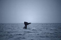 Gray Whales, Punxsutawney Phil and Phenology
