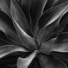 Century Plant Photographic Print by Brett Weston at Art.com