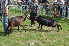 #goatfight #vda #folk #valdaosta #alpi #alps #vacation #nature  #montagna #cervinia #cervino #bataillesdeschevres