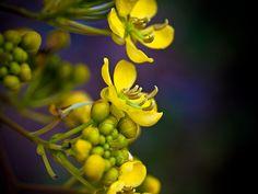 fiori indiani