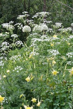 Anthriscus sylvestris with soft yellow aquilegia and white allium  From http://roserogpatina.blogspot.com/