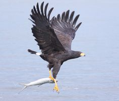 common black hawk / raptor