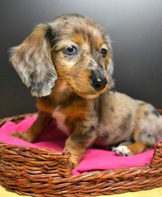 Dachshund. Love this coloring.  This would be what Nikolais babies would look like.