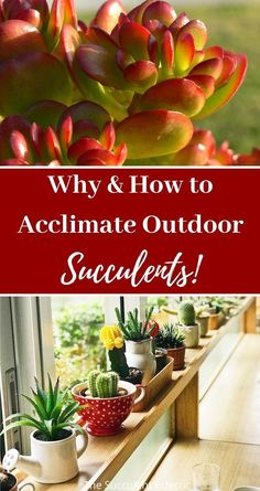 Ready to put your succulents outside? WAIT! Learn all about the importance of acclimating your succulents to the outdoor location where you want them to grow. Without proper acclimation, full sun succulents burn and winter hardy succulents freeze! Take the time to get it right. Your succulents will appreciate it! Pin now, ready later. #succulentcare #fullsunsucculents #outdoorsucculents #outdoorsucculentcare Summer Coats, Succulent Care, New Environment, Grow Lights, Planting Succulents, Natural World, Frozen, Plants, Outdoor