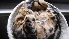 tabata bengal cat - lovely sleeping
