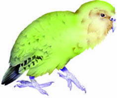 Forest bird, kakapo. In CLOAK OF PROTECTION is hunted by hokioi/Hasst's eagle, kiore, ferret, cat, and stoat.