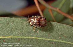 Image of Adult eucalyptus tortoise beetle (eucalyptus leaf beetle), Trachymela sloanei, on a chewed eucalyptus leaf. Leaf Beetle, Eucalyptus Leaves, Garden Pests, Tortoise, Beetles, Southern California, Management, Random, Ideas