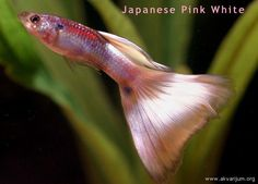 17 Best images about Guppy on Pinterest | Neon, Koi and Fresh water