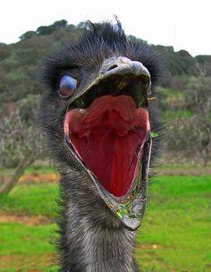 An Emu On The Attack Emu, Birds, Large flightless bird