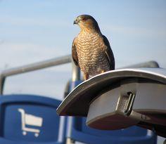 Sharp-Shinned Hawk (Birds of Prey, Hawks)