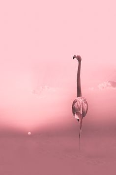 "djferreira224: "" flamingo at sunset """