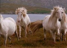 Wild Horses of the Outer Hebrides Islands,Scotland - 1great-trip.com
