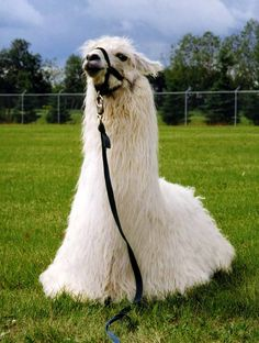 Google Image Result for http://www.llonepinefarm.com/images/White%2520llama%2520laying%2520down_edited-2.jpg