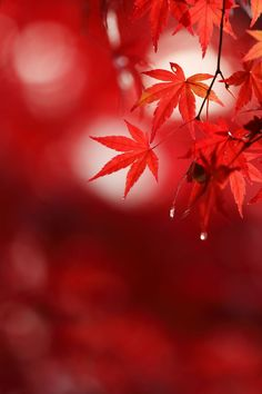 Beautiful Photos Of Nature, Beautiful Nature Wallpaper, Nature Pictures, Beautiful Landscapes, Red Aesthetic, Aesthetic Pictures, Autumn Leaves Japan, Background Images For Editing, Autumn Scenes