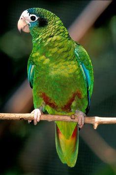 Hispaniolan Parrot, which is vulnerable and often illegally trafficked.