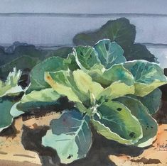 """Spencer Meagher on Instagram: """"""""Sunlit Cabbage"""" received an Award if Recognition from Judge Keiko Tanabe at the 2020 St Louis Big Splash Exhibition."""" St Louis, Plant Leaves, Cabbage, Vegetables, Big, Plants, Instagram, Veggies, Vegetable Recipes"""