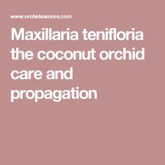 Maxillaria tenifloria the coconut orchid care and propagation
