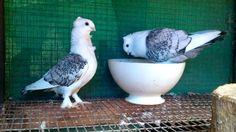My Classic Oriental Sattinett Pigeons