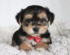Morkie puppies: Lancaster Puppies has morkie puppies for sale. The Morkie dog is a playful, designer breed. Get a morkie puppy here. Morkie Puppies For Sale, Cute Puppies, Shih Tzu Puppy, Yorkie, Lancaster Puppies, Animals Dog, Cute Little Animals, Shiloh, Yorkshire Terrier