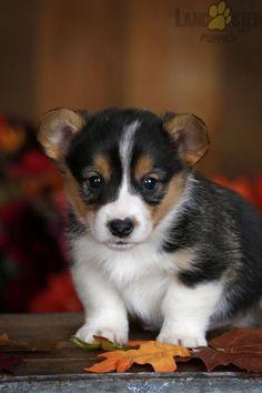 #WelshCorgi #Pembroke #Charming #PinterestPuppies #PuppiesOfPinterest #Puppy #Puppies #Pups #Pup #Funloving #Sweet #PuppyLove #Cute #Cuddly #Adorable #ForTheLoveOfADog #MansBestFriend #Animals #Dog #Pet #Pets #ChildrenFriendly #PuppyandChildren #ChildandPuppy #LancasterPuppies www.LancasterPuppies.com Puppies For Sale, Cute Puppies, Mans Best Friend, Best Friends, Pembroke Welsh Corgi Puppies, Lancaster Puppies, Willy Wonka, Animals And Pets, Puppy Love
