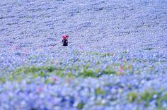 Égszínkék virágtengerré változott a Japán tengerpart   Diamonds