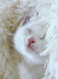 White cats are beautiful photos) Cute Kittens, Cats And Kittens, Ragdoll Kittens, Tabby Cats, Bengal Cats, Siamese Cats, Pretty Cats, Beautiful Cats, Animals Beautiful